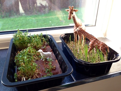 Growing jungles for a windowsill, farm windowsill, cress farm, cat grass farm, preschooler gardening, preschooler cress farm, cress jungle